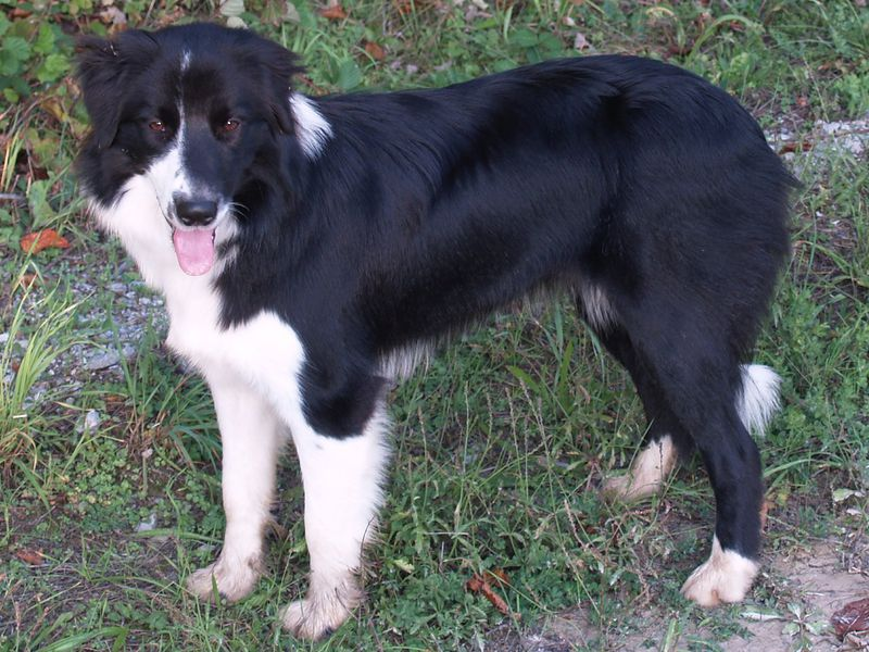 파일:Border Collie b-w.jpg