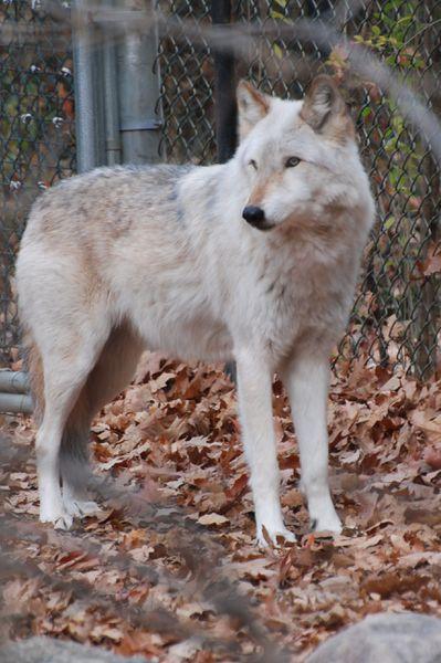 늑대 - 위키수인백과